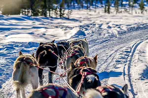 Dog-Sledding with world class Alaskan Huskies